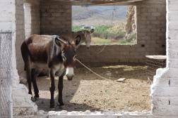 A burro in Boquillas, Mexico