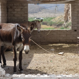 A burro in Boquillas, Mexico