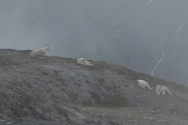 Hardy mountain goats